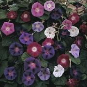 Morning Glory 'Mixed' - 1 packet (35 morning glory seeds)
