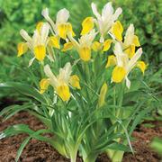 Iris bucharica - 10 bare root Iris plants