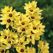 Ixia 'Yellow Emperor' - 10 ixia corms