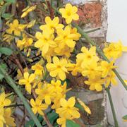 Jasminum nudiflorum (Large Plant) - 1 x 3 litre potted Jasminum plant
