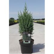 Juniperus chinensis 'Stricta' - 1 x 3 litre potted juniperus plant