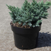 Juniperus squamata 'Blue Star' (Large Plant) - 1 x 2 litre potted juniperus plant