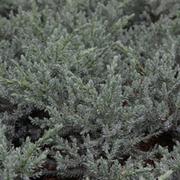 Juniperus squamata 'Tropical Blue' (Large Plant) - 1 x 2 litre potted juniperus plant