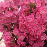 Kalmia angustifolia Rubra (Mountain Laurel) - 1 x 15cm potted kalmia plant