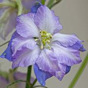 Larkspur 'Fancy Purple Picotee' - 1 packet (150 larkspur seeds)