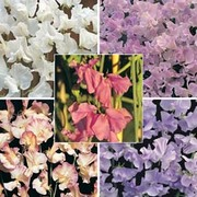 Sweet Pea 'Fragrant For Cutting' Collection - 1 packet (5 sweet pea foils)