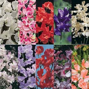 Sweet Pea Collection - 10 packets - 1 of each variety (225 sweet pea seeds in total)