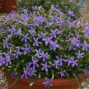 Laurentia 'Indigo Stars' - 36 laurentia plug plants