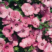 Lavatera trimestris 'Silver Cup' - 1 packet (80 lavatera seeds)