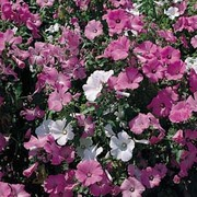Lavatera trimestris 'Loveliness Mixed' - 1 packet (200 seeds)