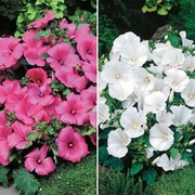 Lavatera 'Twins' - 2 packets - 1 of each variety (50 lavatera seeds in total)