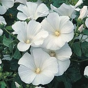 Lavatera trimestris 'Mont Blanc' - 1 packet (80 seeds)