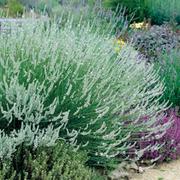 Lavender x intermedia 'Edelweiss' (Large Plant) - 1 x 2 litre potted lavender plant