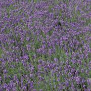 Lavender 'Hidcote' (Large Plant) - 1 x 3.6 litre potted lavender plant