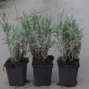 Lavender 'Rosea' (Large Plant) - 1 x 9cm potted lavender plant