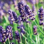 Lavender 'Munstead' - 6 lavender plug plants