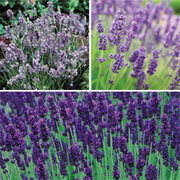 Lavender Collection - 18 lavender plug plants - 6 of each variety