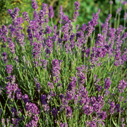 Lavender 'Munstead' (Large Plant) - 1 x 1 litre potted lavender plant