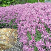 Lavender stoechas 'The Princess' - 1 x 8cm potted lavender plant