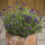 Lavender 'Mini Blue' - 1 packet (20 lavender seeds)