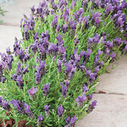 Lavender stoechas 'Bandera Purple' - 1 packet (12 lavender seeds)