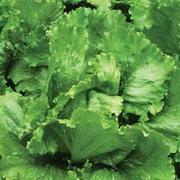 Lettuce 'Lakeland' (Iceberg/Crisphead) - 1 packet (300 seeds)