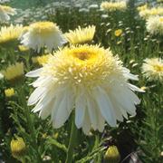 Shasta Daisy 'Real Glory' - 3 Shasta Daisy jumbo plug plants