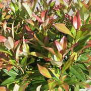 Leucothoe 'Scarletta' (Large Plant) - 1 x 3.5 litre potted leucothoe plant