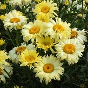 Shasta Daisy 'Goldfinch' (Large Plant) - 1 x 2 litre potted leucanthemum plant