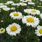 Shasta Daisy 'Real Neat' (Large Plant) - 1 x 1 litre potted leucanthemum plant
