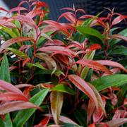 Leucothoe keiskei 'Burning Love' (Large Plant) - 1 x 3.6 litre potted leucothoe plant