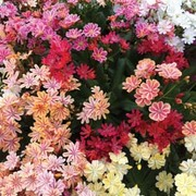 Lewisia cotyledon 'Elise Mixed' - 24 lewisia plug plants