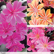 Lewisia cotyledon 'Safira Collection' - 3 jumbo plug plants