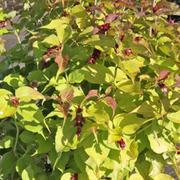 Leycesteria formosa 'Golden Lanterns' (Large Plant) - 1 x 3.5 litre potted leycesteria plant