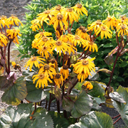 Ligularia dentata 'Midnight Lady' (Large Plant) - 1 x 1 litre potted ligularia plant