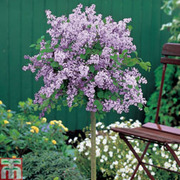 Lilac 'Palibin' (Large Plant) - 1 x 3.5 litre potted lilac plant