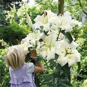 Tree Lily® 'Pretty Woman' - 10 lily bulbs