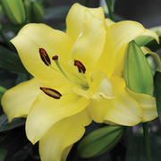Lily 'Exotic Sun' - 10 lily bulbs