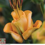 Lily 'Apricot Fudge' - 10 lily bulbs