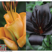 Lily Duo Collection - 10 lily bulbs - 5 each of variety