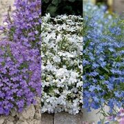 Lobelia erinus 'Bushy Collection' - 3 packets - 1 of each variety (6500 lobelia seeds in total)
