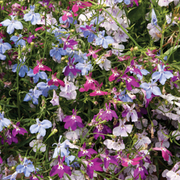 Lobelia 'Cascade Improved Mixed' (Garden Ready) - 15 lobelia garden ready plants