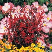 Lobelia x speciosa 'Fan Scarlet' (Large Plant) - 1 x 1 litre potted lobelia plant