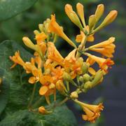 Lonicera 'Golden Trumpet' (Large Plant) - 1 x 3 litre potted lonicera plant