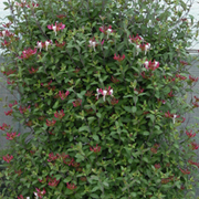 Lonicera periclymenum 'Fragrant Cloud' (Large Plant) - 1 x 3 litre potted lonicera plant