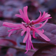 Loropetalum chinense var. rubrum 'Fire Dance' - 1 x 15cm potted loropetalum plant