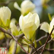 Magnolia denudata 'Yellow River' (Large Plant) - 1 x 12 litre potted magnolia plant
