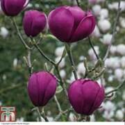 Magnolia 'Black Tulip' - 1 bare root magnolia plant