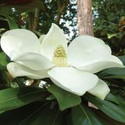 Magnolia grandiflora 'Exmouth' - 1 x 9cm potted magnolia plant