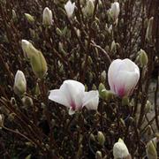 Magnolia x soulangeana 'Alba Superba' (Large Plant) - 1 x 3.5 litre potted magnolia plant